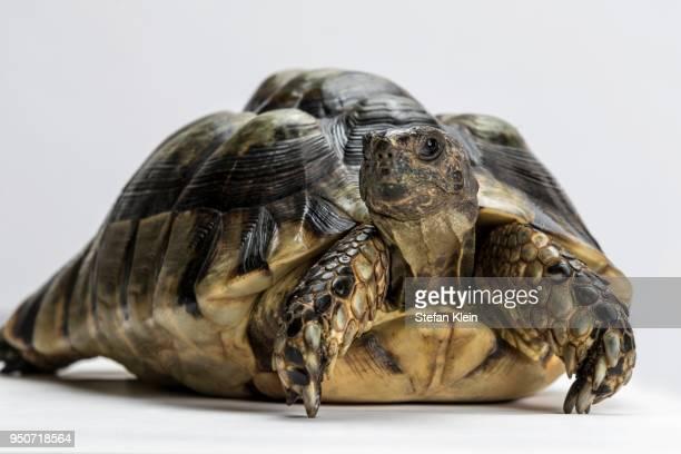marginated tortoise (testudo marginata), white background - marginata stock pictures, royalty-free photos & images