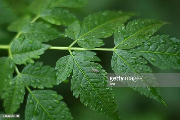 Margosa leaves