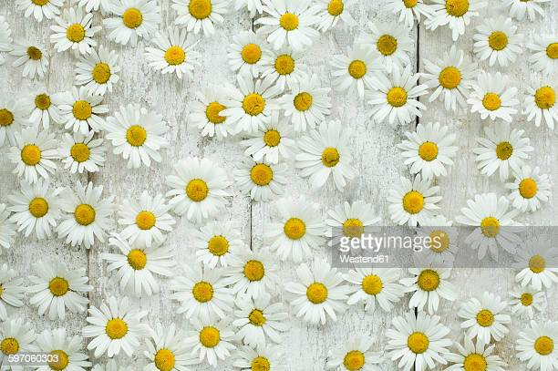 Marguerite blossoms on wood