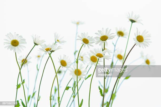 marguerite blossoms, white background - daisy stock pictures, royalty-free photos & images