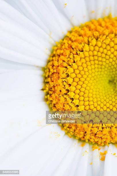 Marguerite daisy, close up