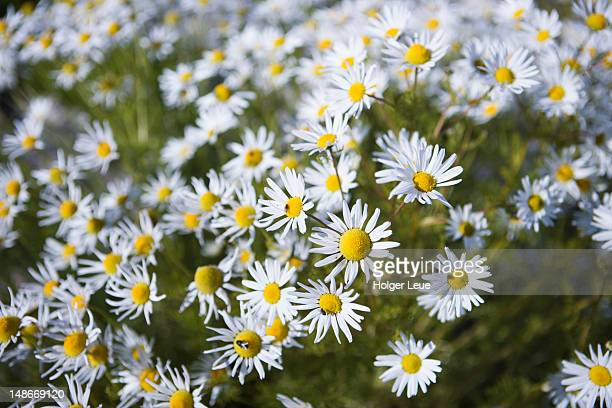 marguerite daisy flowers in meadow. - marguerite daisy stock photos and pictures