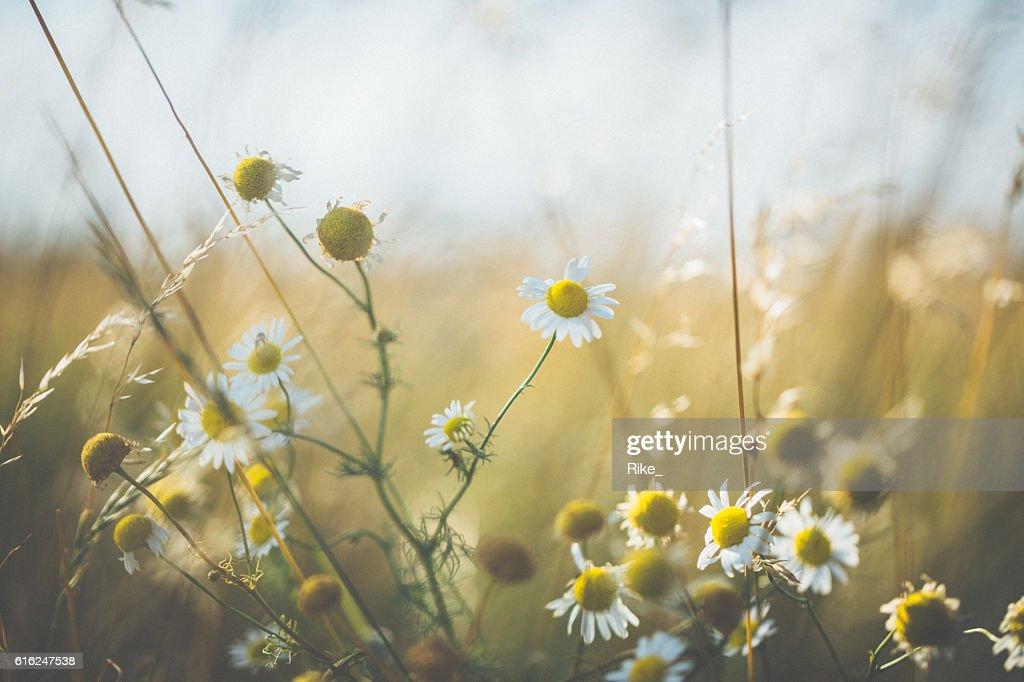 Margarida [ Leucanthemum vulgare ] no Verão : Foto de stock