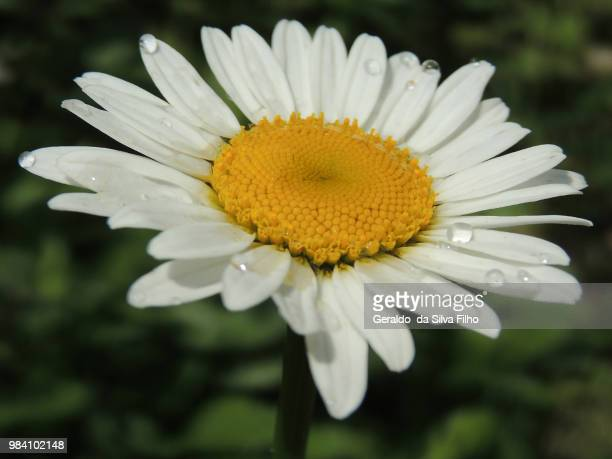 marguerite my love - filho stock pictures, royalty-free photos & images