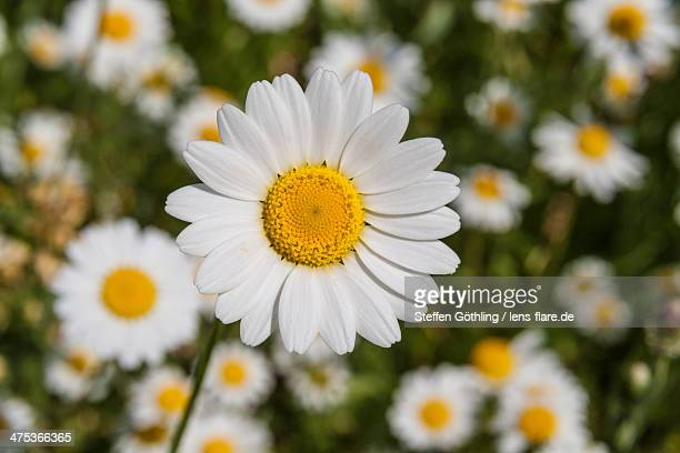 marguerite - daisy stock pictures, royalty-free photos & images