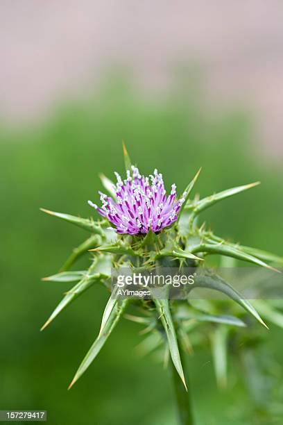 Marian Distel Blume (Silybum marianum)