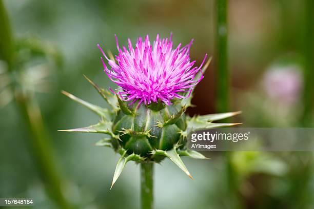 Marian thistle flower (Silybum marianum)