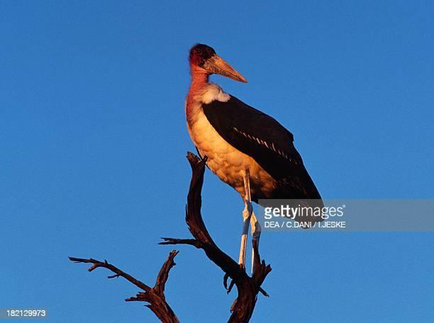 Maribou Stork Ciconiidae Okavango River Botswana