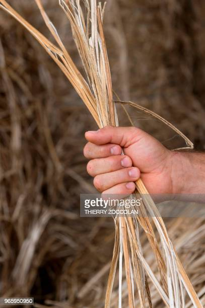 Marien Sablery an agricultor cultivating organic hemp on 25 hectares holds hemp fibre in Evaux les Bains Creuse region on May 31 2018 Emmanuel Macron...