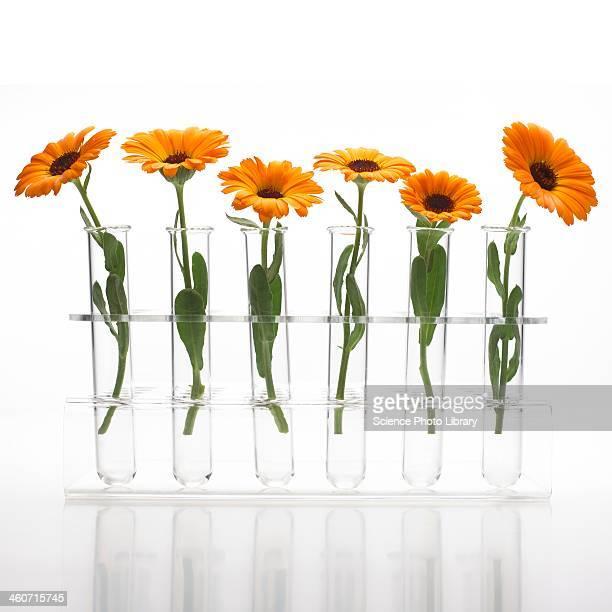 Marigold Calendula officinalis flowers