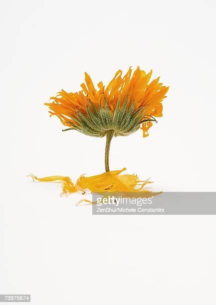 Marigold flower and petals