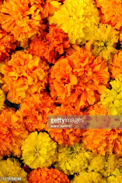 marigold flowers for decoration in diwali - diwali decoration stock pictures, royalty-free photos & images