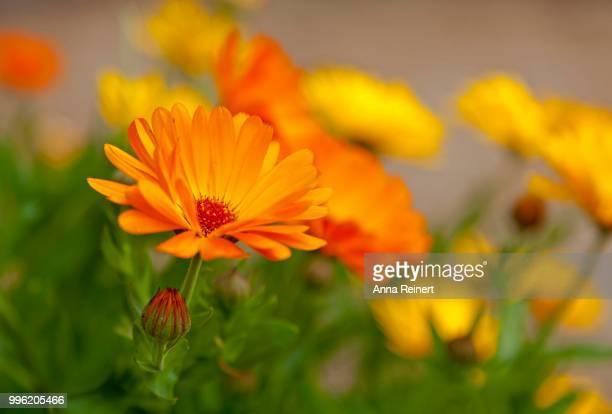 Marigold (Calendula officinalis), flowers, Germany