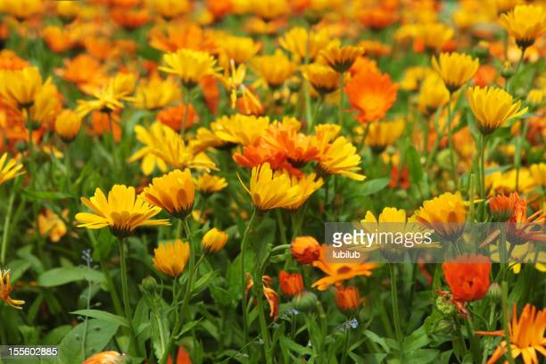 Marigold flowers in a large organic flowerbed