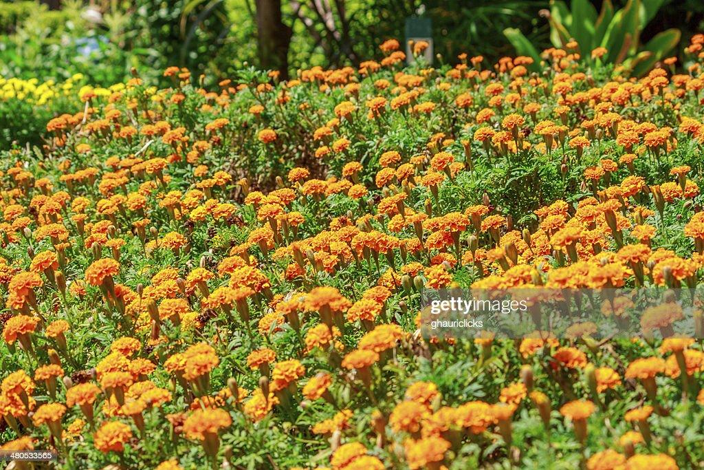 マリーゴールドの花 : ストックフォト