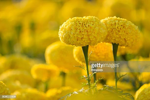 marigold flowers - lifeispixels stock pictures, royalty-free photos & images