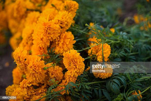 Marigold flowers sit in a field during harvest in Tepeyanco Mexico on Friday Oct 30 2015 Marigolds are commonly used to decorate grave sites and...