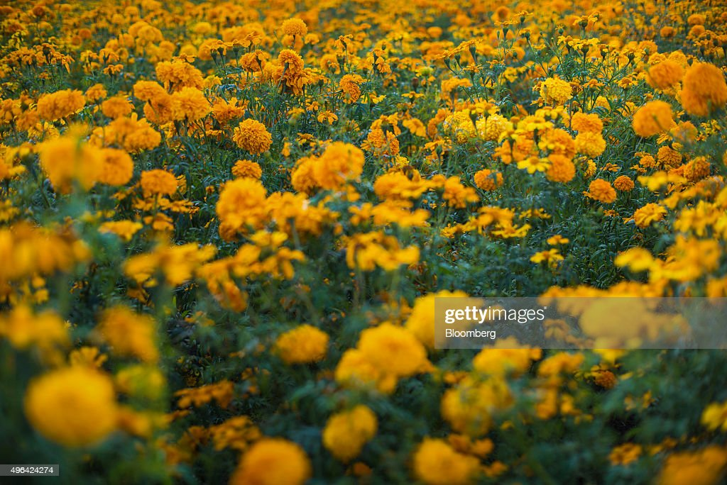Marigold Flowers Stand In A Field During Harvest Tepeyanco Mexico On Friday