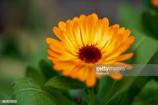 Marigold in full bloom