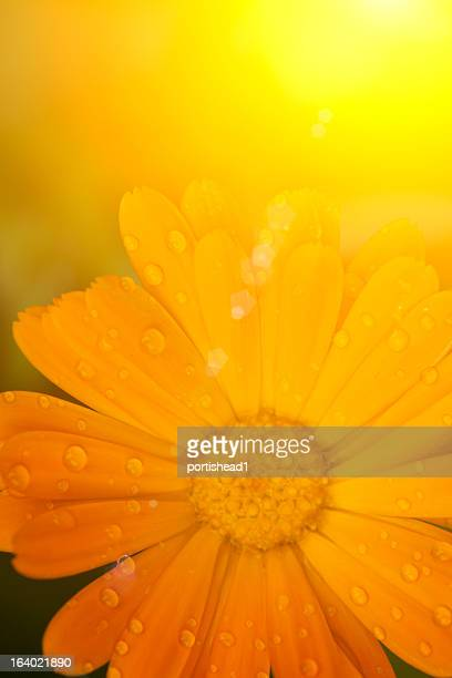 marigold - pot marigold stock pictures, royalty-free photos & images