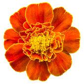 Marigold.