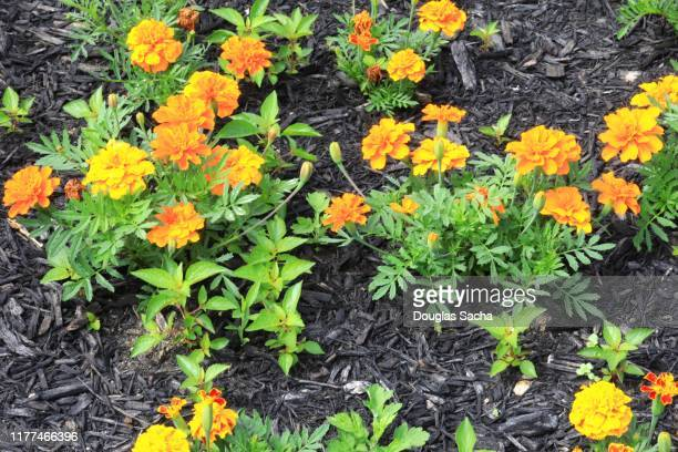 marigold plants in bloom - pot marigold stock pictures, royalty-free photos & images