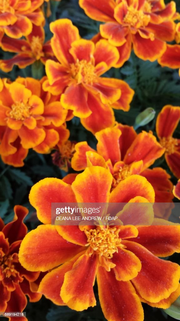 Marigolds flowers : Stock Photo