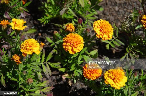 Marigolds in bloom in a garden bed