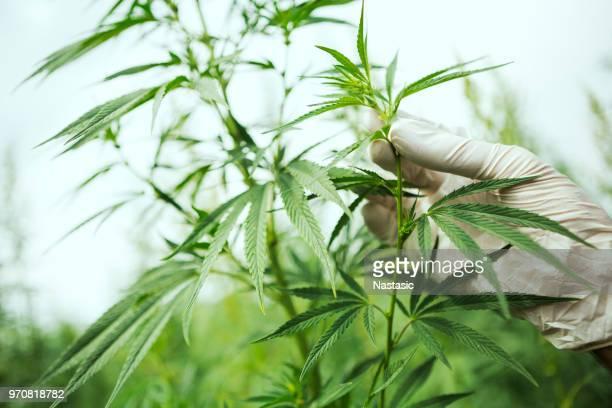 marijuana ,cannabis leafs - marijuana herbal cannabis stock photos and pictures