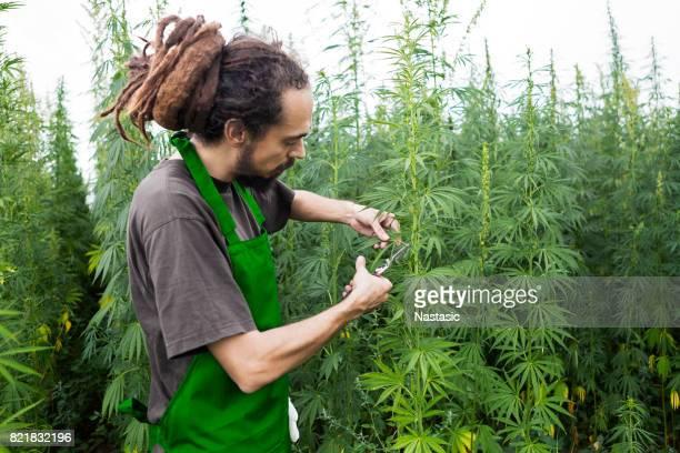 Marihuana, Cannabis-Pflanzen für die Ernte bereit