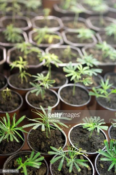Marijuana Clones in plant nursery ,seedlings
