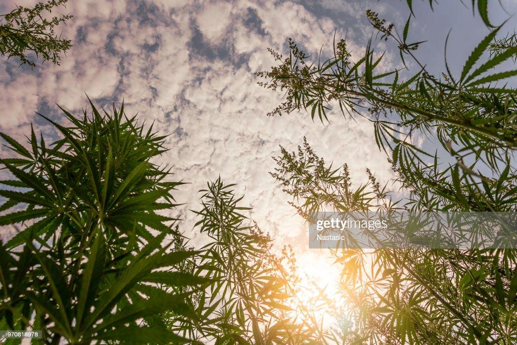 Campo de marihuana durante la puesta de sol : Foto de stock