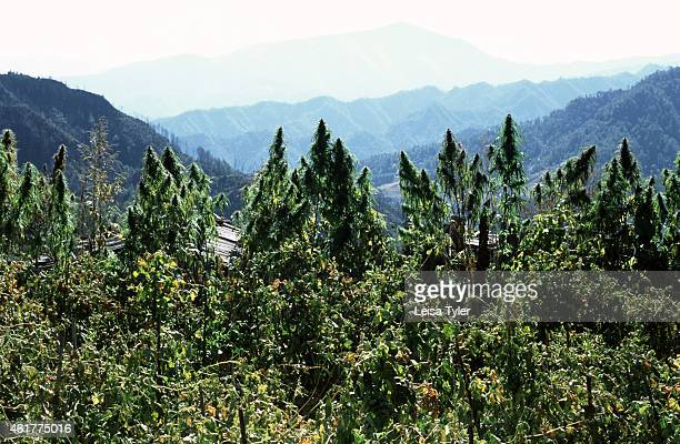 Marijuana growing in a Yi village above Weixi in central Yunnan province The female variety of the Indian Hemp strain these plants are flowering...