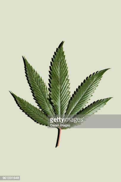 marijuana leaf against white background - weed stock photos and pictures