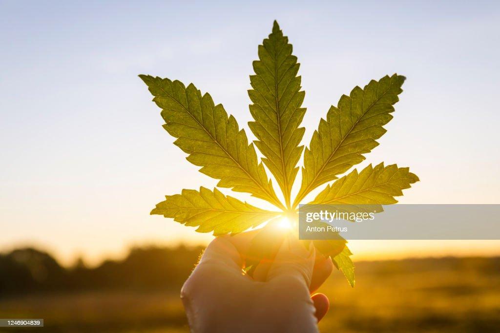 Marijuana leaf in hand on sunset sky background : ストックフォト
