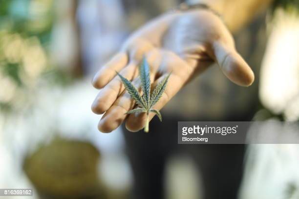 A marijuana leaf is displayed for a photograph at a Bonify grow facility in Winnipeg Manitoba Canada on Wednesday July 12 2017 A year before...