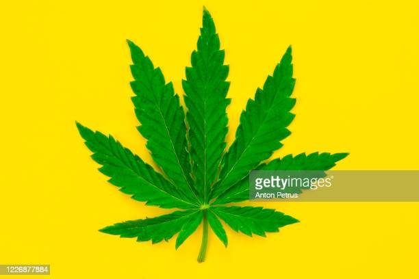 marijuana leaf on a yellow background. - marijuana leaf stock pictures, royalty-free photos & images