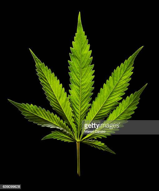 marijuana leaf on black background - cannabis narcotic stock photos and pictures