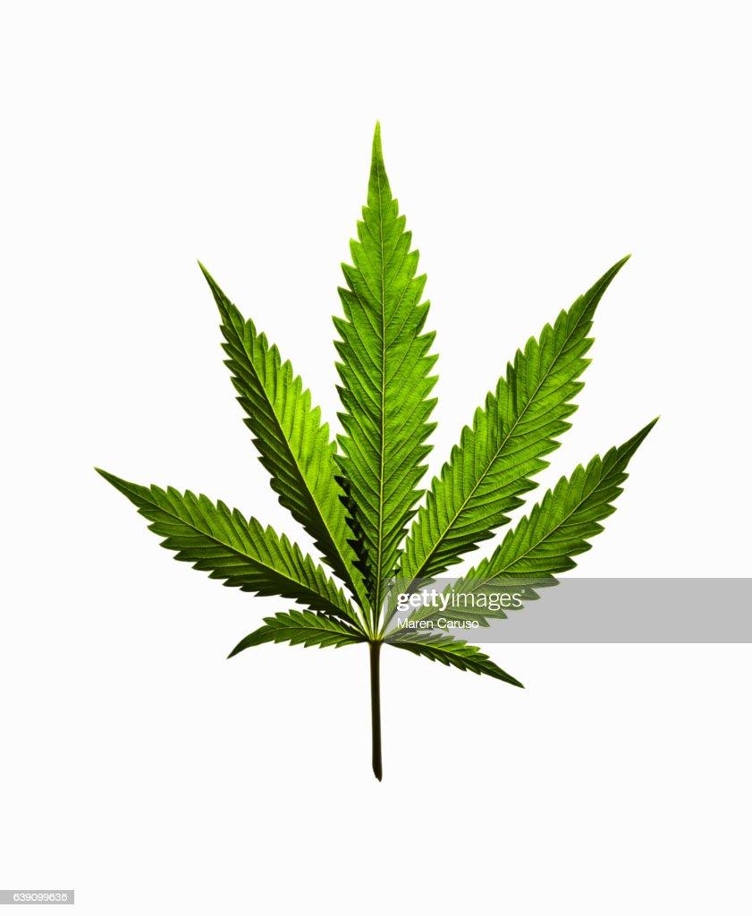 Marijuana leaf on white background : ストックフォト