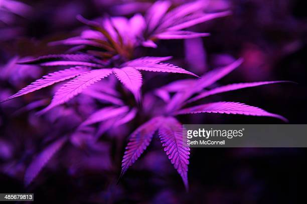 Marijuana leafs glow purple under grow lights at the Black Dog LED booth during the High Times Cannabis Cup at Denver Mart in Denver Colorado on...