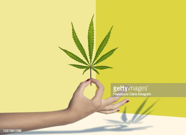 marijuana - cannabis plant stock photos and pictures