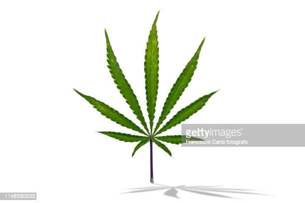 marijuana - marijuana leaf stock photos and pictures