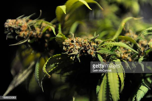 A marijuana plant at the Organic Growers Solutions during the High Times US Cannabis Cup at the Exdo Center on April 21 2013 in Denver Colorado