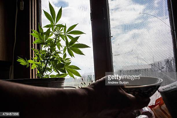 A marijuana plant is grown in window sill of a Yupik family on July 3 2015 in Newtok Alaska Newtok is one of several remote Alaskan villages that is...