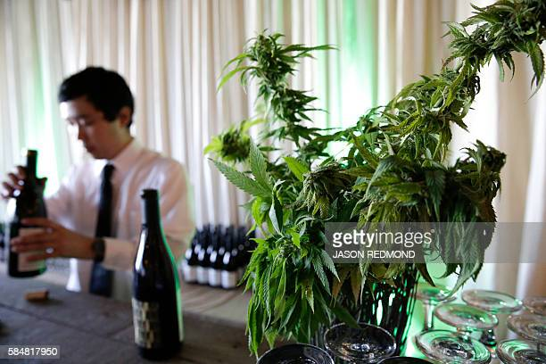A marijuana plant is pictured as a bartender opens wine at a cannabis food event in Tacoma Washington on July 19 2016 As more US states move to...