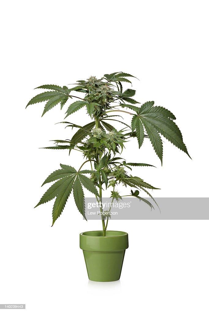 Marijuana plant : Stock Photo