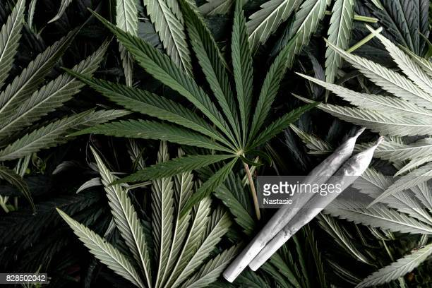 marijuana plant with joints - cannabis plant stock photos and pictures
