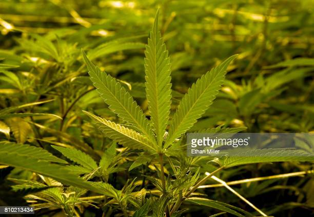 Marijuana plants are grown at Essence Vegas' 54000squarefoot marijuana cultivation facility on July 6 2017 in Las Vegas Nevada On July 1 Nevada...