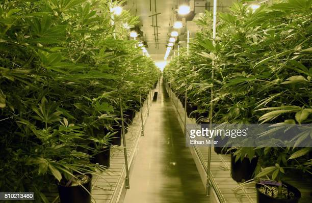 Marijuana plants are grown at Essence Vegas' 54000squarefoot marijuana cultivation facility on July 6 2017 in Las Vegas Nevada On July 1 Nevada...
