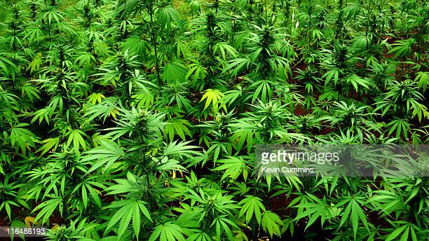 Marijuana plants at the mausoleum for reggae musician Peter Tosh in the grounds of his former house in Belmont Jamaica 3rd June 2011
